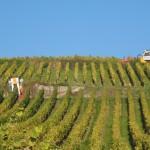 Vendanges mécaniques dans le vignoble